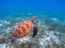 Tartaruga di mare in acqua blu Grande primo piano della tartaruga di mare verde Specie in pericolo di estinzione di barriera cora Fotografie Stock Libere da Diritti