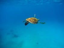 Tartaruga di mare in acqua calda con fondo blu Fotografia subacquea dell'animale oceanico selvaggio Immagine Stock Libera da Diritti