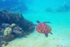 Tartaruga di mare in barriera corallina Foto subacquea vulnerabile della tartaruga marina Animale oceanico in natura selvaggia fotografia stock