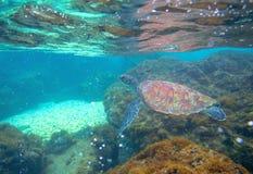 Tartaruga di mare in mare basso Foto subacquea esotica della tartaruga marina Animale oceanico in natura selvaggia fotografia stock