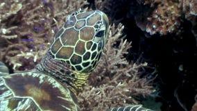 Tartaruga di mare capo su fondo di underwater di corallo in oceano di Filippine stock footage