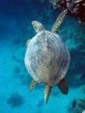 Tartaruga di mare (caretta del Caretta) Fotografie Stock
