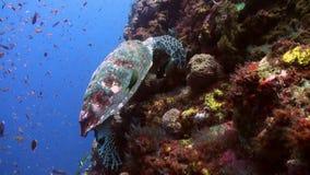 Tartaruga di mare che mangia corallo sul pendio della scogliera nel mare video d archivio