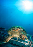 Tartaruga di mare con lo sprazzo di sole Fotografia Stock