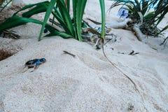 Tartaruga di mare del bambino che corre verso l'oceano, Sri Lanka fotografia stock