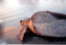 Tartaruga di mare della Florida ad alba immagini stock libere da diritti