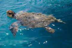 Tartaruga di mare dello stupido Fotografie Stock