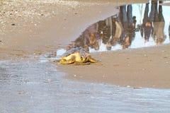 Tartaruga di mare dello stupido (caretta del Caretta) Immagini Stock