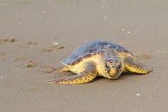 Tartaruga di mare dello stupido (caretta del Caretta) Fotografie Stock