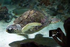 Tartaruga di mare dello stupido (caretta del Caretta) Fotografia Stock