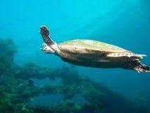 Tartaruga di mare di Hawksbil Fotografie Stock Libere da Diritti