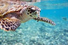 Tartaruga di mare di Hawksbill Fotografia Stock Libera da Diritti