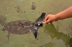 Tartaruga di mare di Hawksbill in Figi Fotografie Stock