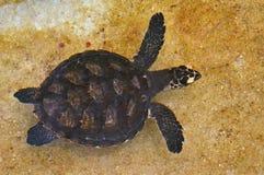 Tartaruga di mare di Hawksbill fuori dalla costa delle Figi Fotografie Stock Libere da Diritti