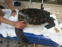 Tartaruga di mare di pulizia Immagini Stock Libere da Diritti