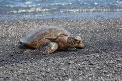 Tartaruga di mare di riposo Fotografia Stock