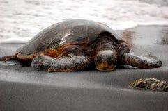 Tartaruga di mare di sonno Fotografie Stock