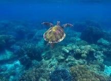 Tartaruga di mare e barriera corallina Nuoto della tartaruga verde nel mare blu profondo Fotografie Stock