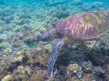 Tartaruga di mare e pesce di corallo Foto subacquea esotica della tartaruga marina Animale oceanico in natura selvaggia Vacanza d fotografie stock