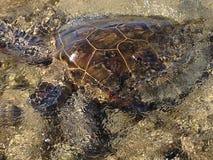 Tartaruga di mare - grande isola Hawai Fotografia Stock