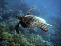 Tartaruga di mare in grande scogliera di barriera Fotografia Stock