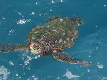 Tartaruga di mare Kauai Immagini Stock