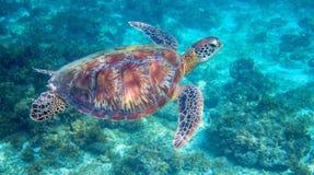 Tartaruga di mare in laguna tropicale Primo piano della tartaruga di mare verde Fauna selvatica della barriera corallina tropical Fotografie Stock Libere da Diritti