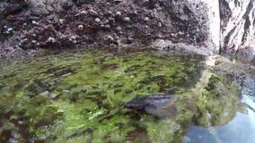 Tartaruga di mare minuscola che impara nuotare vicino sui colpi subacquei archivi video