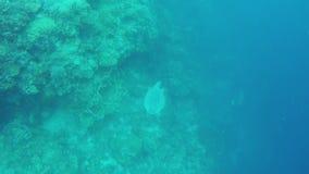 Tartaruga di mare nel mare tropicale archivi video
