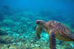 Tartaruga di mare nel paesaggio di corallo Foto subacquea esotica della tartaruga marina Animale oceanico in natura selvaggia fotografie stock libere da diritti