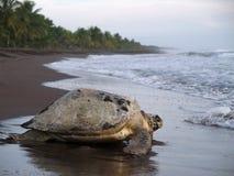 Tartaruga di mare nella sosta nazionale di Tortuguero, Costa Rica Immagini Stock