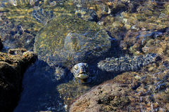 Tartaruga di mare nello stagno della roccia con la testa che compare dall'acqua Fotografie Stock