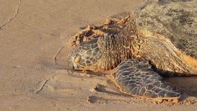 Tartaruga di mare pericolosa che riposa sulla spiaggia, Oahu, Hawai, U.S.A. video d archivio