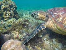Tartaruga di mare in primo piano dei coralli Foto subacquea esotica della tartaruga marina Animale oceanico in natura selvaggia immagine stock