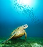 Tartaruga di mare in profondità subacquea Fotografia Stock
