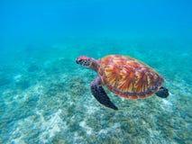 Tartaruga di mare selvaggia in primo piano blu dell'oceano Primo piano della tartaruga di mare verde Fotografia Stock Libera da Diritti