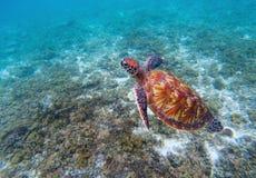 Tartaruga di mare selvaggia in spiaggia Primo piano della tartaruga di mare verde Immagini Stock Libere da Diritti