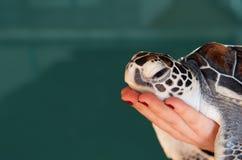 Tartaruga di mare su una mano dei woman's Fotografia Stock Libera da Diritti