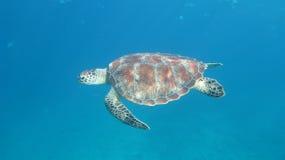 Tartaruga di mare subacquea Immagini Stock