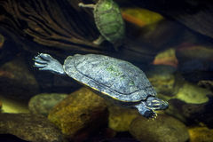 Tartaruga di mare in un acquario Immagini Stock