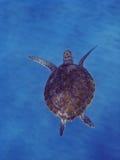 Tartaruga di mare verde Fotografie Stock