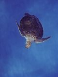 Tartaruga di mare verde Immagini Stock Libere da Diritti