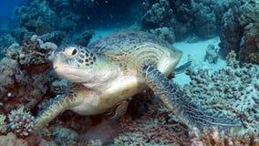 Tartaruga di mare verde Fotografie Stock Libere da Diritti