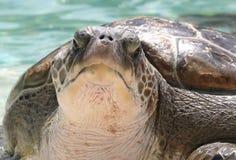 Tartaruga di mare verde Fotografia Stock