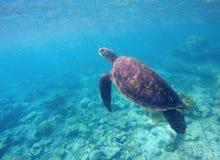 Tartaruga di mare verde in acqua del turchese Fotografia Stock Libera da Diritti