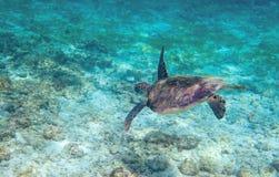 Tartaruga di mare verde in acqua di mare del turchese Natura tropicale dell'isola esotica Immagini Stock Libere da Diritti