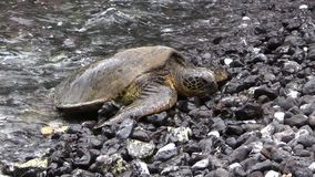 Tartaruga di mare verde che riposa sulla spiaggia stock footage