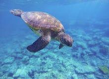Tartaruga di mare verde che si tuffa barriera corallina Fotografia Stock