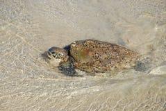 Tartaruga di mare verde, chelonia mydas, specie in pericolo di estinzione fotografia stock