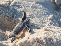 Tartaruga di mare verde del bambino Fotografia Stock Libera da Diritti